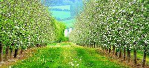 засаждане на овощни дръвчета