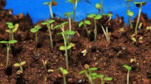 Грижа и поливане на семената